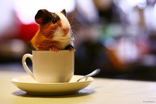 5. One Guinea Pig, Please