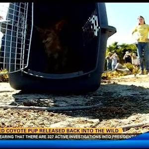Burned coyote pup released back into the wild