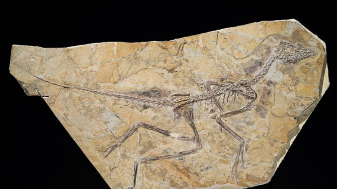 "An undated image released by the Royal Belgian Institute of Natural Sciences shows the skeleton of a recently discovered dinosaur dubbed Aurornis xui that roamed China during the middle to late Jurassic period. A new study published in the journal Nature finds the discovery restores the fossil creature Archaeopteryx back to the ""bird"" branch of the evolutionary family tree. (AP Photo/Thierry Hubin, Royal Belgian Institute of Natural Sciences)"
