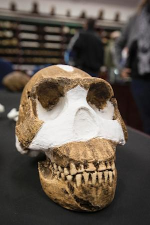 The skull of the Homo Naledi on display at the University …