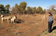 In this Tuesday, Dec. 11, 2012 photo, Caddo County farmer Karen Krehbiel calls out to several rams on the familys farm near Hydro, Okla. Krehbiel said the grazing pasture for the rams is nearly decimated because of the ongoing drought, the latest natural disaster to strike the county, which also has been beset in recent years by floods, tornadoes, ice storms and hail. (AP Photo/Sean Murphy)