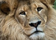 &lt;p&gt;A lion called Bruiser rests in its enclosure at the Taronga Zoo in Sydney. Zambia has banned lion and leopard hunting to protect rapidly decreasing feline numbers for a burgeoning safari industry, despite criticism that it will drive tourists away.&lt;/p&gt;