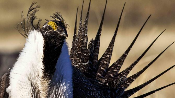 U.S. Bureau of Land Management photo of sage grouse