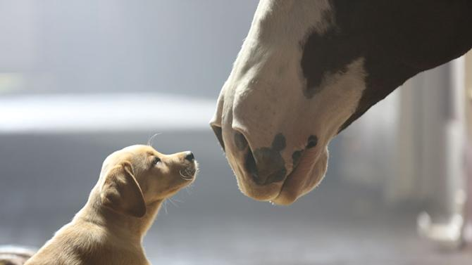 "This undated frame grab provided by Anheuser-Busch shows the company's 2014 Super Bowl commercial entitled""Puppy Love"". The ad will run in the fourth quarter of the game. (AP Photo/Anheuser-Busch)"
