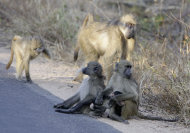 File: In this photo taken Tuesday, July 19, 2011, baboons alongside a road in the Kruger National Park. Climate change could mean an unthinkable loss of wild life in South Africa, which hosts talks on global warming that will bring government negotiators, scientists and lobbyists from around the world to the coastal city of Durban next week (AP Photo/Denis Farrell)