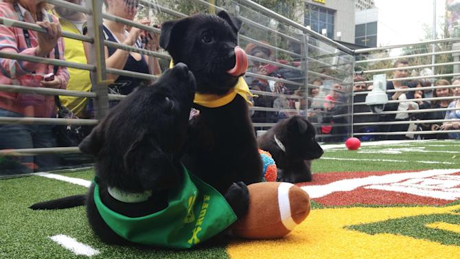 "Puppies tussle with a plush football at the ""Puppy Bowl"" in Phoenix"