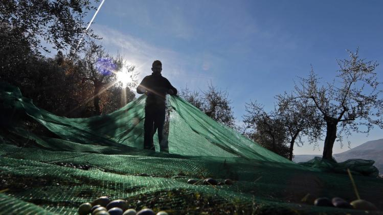 A man uses nets to harvest olives under olive trees near the village of Castagniers, north of Nice