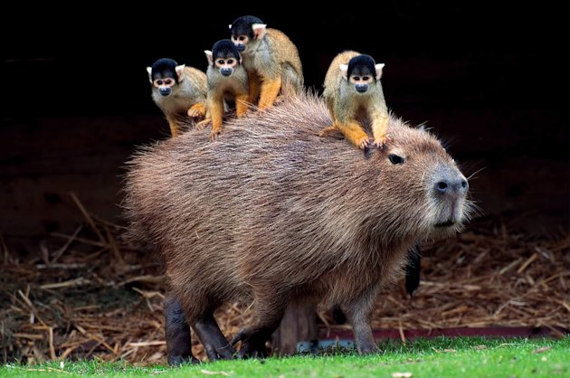 The squirrel monkeys hitched a ride on a friendly capybara (Caters)