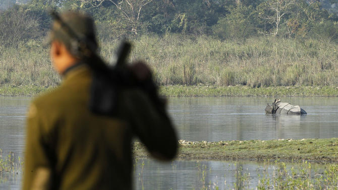 "In this Monday, Dec. 3, 2012 photo, a one-horned rhinoceros wades in water as a forest guard stands inside the Kaziranga National Park, a wildlife reserve that provides refuge to more than 2,200 endangered Indian one-horned rhinoceros, in the northeastern Indian state of Assam. Even in this well protected reserve, where rangers follow shoot-to-kill orders, poachers are laying siege to ""Fortress Kaziranga,"" attempting to sheer off the animals' horns to supply a surge in demand for purported medicine in China that's pricier than gold. A number of guards have been killed along with 108 poachers since 1985 while 507 rhino have perished by gunfire, electrocution or spiked pits set by the poachers, according to the park. (AP Photo/Anupam Nath)"