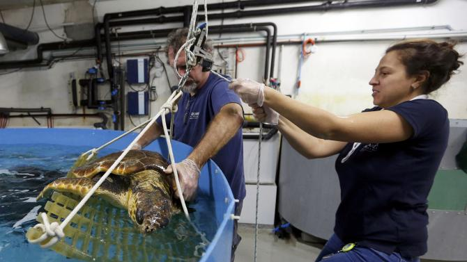 Employees at the care centre for sea turtles at the Rochelle (CESTM - centre de soins pour tortues marines) work on a Caouanne turtle at the acquarium La Rochelle