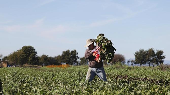 FILE - In this Nov. 10, 2012 file photo, Omar Chombo carries a bunch of chard across the field which he leases from the Agriculture and Land-Based Training Association, known as ALBA, in Salinas, Calif. The organization helps farmworkers, most of whom are first generation Latinos, to become independent organic farm operators. With Congress considering a new immigration reform proposal that includes a speedier process to legal status for farmworkers, experts say, the best indicator of how such reform would play out is to look at the fate of the generation of farmworkers who were legalized over two decades ago. (AP Photo/Gosia Wozniacka, File)