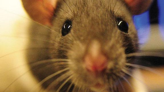 Empathic Rats Free Trapped Buddies From Restraints (Op-Ed)