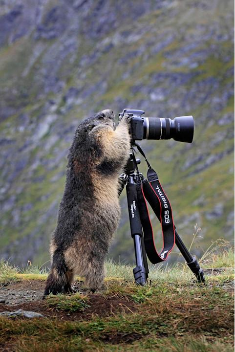 A mischievous marmot has a taste of life on the other side of the lens. Tired of being photographed, the cute creature took the opportunity to take some pictures itself after spotting an unattended ca