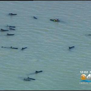 Volunteers Try to Herd Stranded Whales into Deeper Water