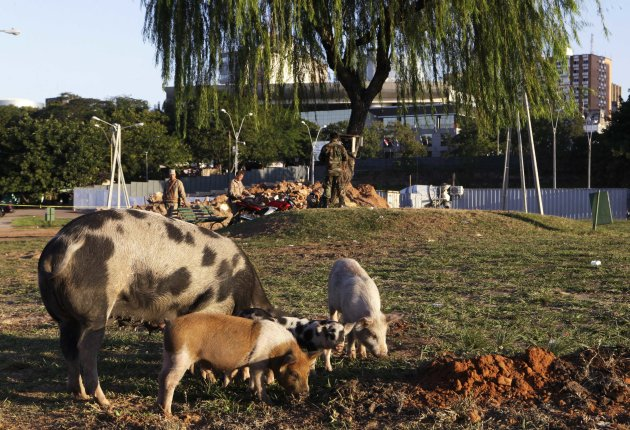 In this June 26, 2012 photo, pigs eat in Bicentenario Park next to the Legislative Palace, behind, in Asuncion, Paraguay. Across the street from the gleaming Legislative Palace lies a trash-strewn tent camp of Paraguay's landless poor, where pigs root in the dirt and flames lap at the grate of a rudimentary cooking pit. The stark contrast in the capital tells the story of a divided people living under the same red-white-and-blue-striped flag. (AP Photo/Jorge Saenz)