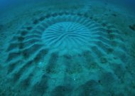 "These ""mystery circles"" are about 7 feet wide and are made by a 5 inch fish."