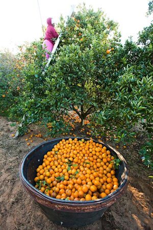 In the 1990s, Florida citrus growers produced more…