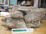 This is the right side of the skull during preparation in the Field Museum labs showing the upturned eyeball and the huge teeth in front of it.