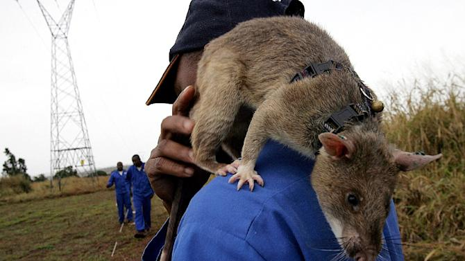 An African rat pictured helping to sniff out landmines in Chimoio, Mozambique on June 24, 2005