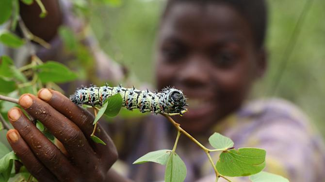 In this photo taken Sunday Jan. 16, 2013, Mpokuhle Ncube finds a mopane worm in a tree in Gwanda, Zimbabwe. In Zimbabwe as well as most parts of southern Africa, mopane worms are a staple part of the diet in rural areas and are considered a delicacy in the cities. They can be eaten dry, as crunchy as potato chips, or cooked and drenched in sauce. (AP Photo/Tsvangirayi Mukwazhi)