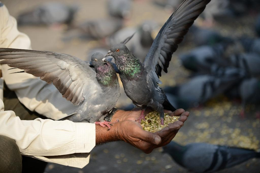 Indian police seize pigeon over spying fears