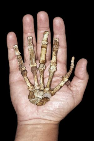 This image released by the journal Science shows the right hand skeleton of the adult female Australopithecus sediba against a modern human hand. A detailed analysis of 2 million-year-old bones found in South Africa offers the most powerful case so far in identifying the transitional figure that came before modern humans, findings some are calling a potential game-changer in understanding evolution. The hand, seen in a palmar view, lacks three wrist bones and four terminal phalanges, but is otherwise complete. (AP Photo/Peter Schmid, courtesy of Lee Berger and the University of Witwatersrand)