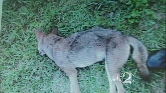 Coyote killed after attack in Brevard Co. had rabies, officials say