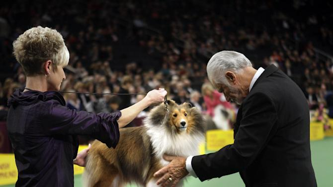 A shetland sheepdog named Mystic Ava Gardner is examined during the judging of the herding group at the 136th annual Westminster Kennel Club dog show in New York, Monday, Feb. 13, 2012.  (AP Photo/Seth Wenig)