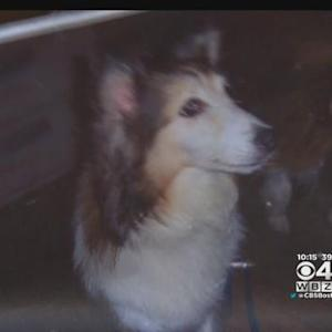 Dog Allegedly Stolen From Yard On Christmas Day