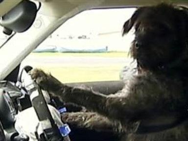 New Zealand Shelter Teaches Dogs to Drive