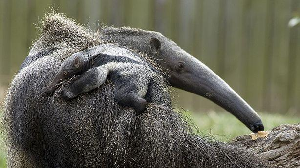 The Mystery of the Immaculately Conceived Baby Anteater