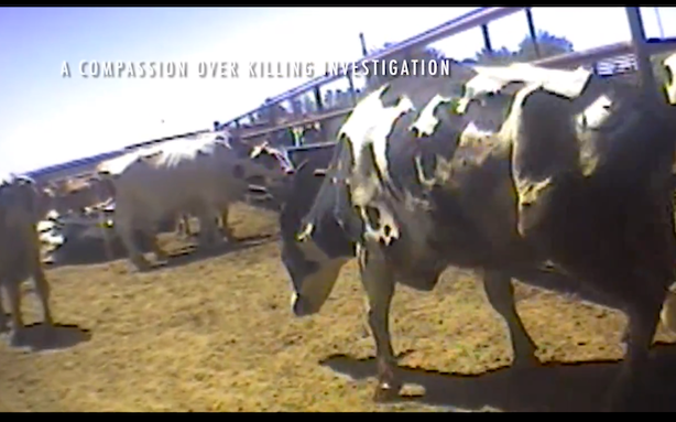 In-N-Out Beef Supplier Suspended Over Animal Cruelty Video