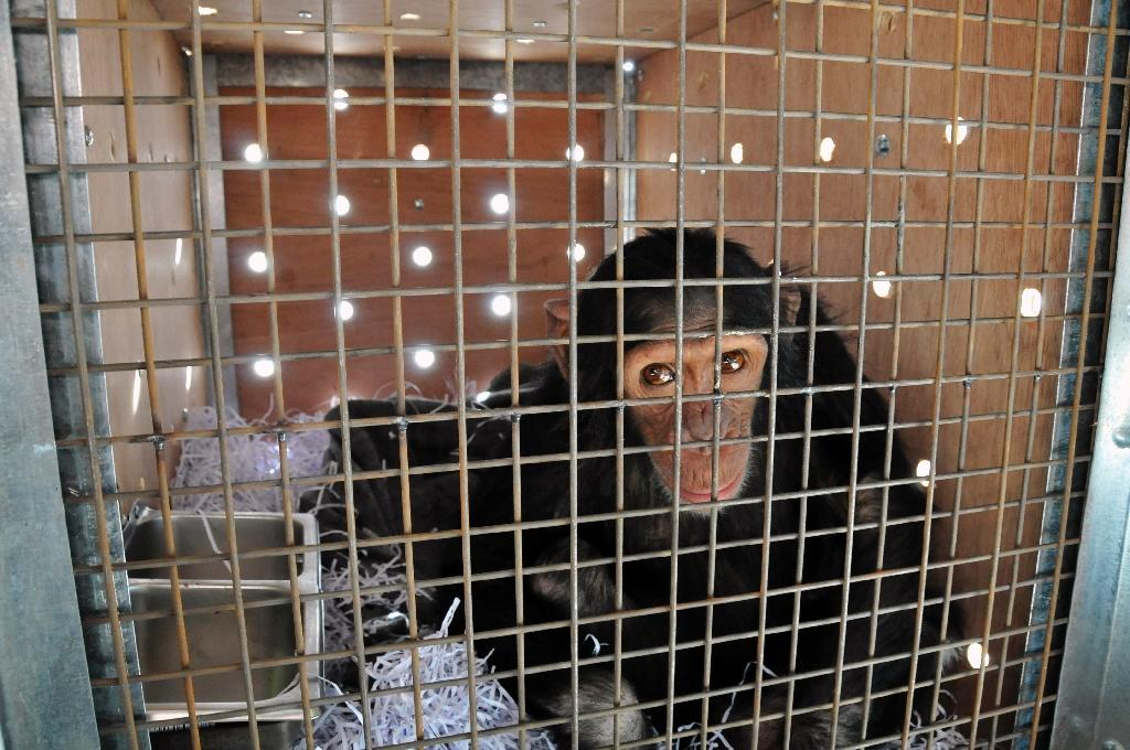 Smoking chimp from Iraq finds refuge in Kenya