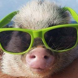 This Little Piglet Is Living Like A Princess In Hawaii