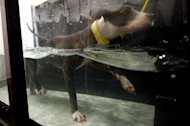 In this Aug. 8, 2012 photo, Trixie, 3, a pit bull, tries out an aquatic treadmill meant for dogs in need of lower impact exercise, during a demonstration at LA Dog Works in Los Angeles. The aquatic treadmill is one of three different types at LA Dog Works. LA Dog Works, a 24-hour dog care center, which includes boarding, grooming, training, daycare, hydrotherapy, massage therapy and a retail store, also uses a $3,000 Jog A Dog and a $40,000 underwater treadmill from a company that is now Hudson Aquatic Systems. (AP Photo/Grant Hindsley)