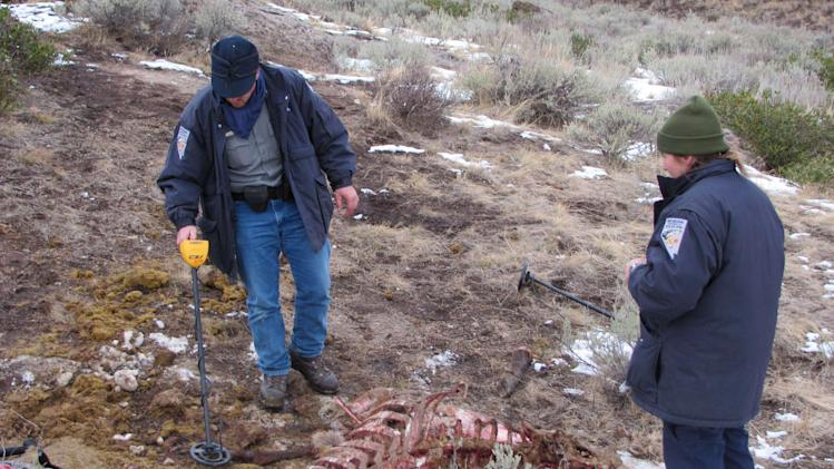 In this photo taken Dec. 7, 2010 and released by the Nevada Department of Wildlife, game wardens Jason Jackson, left, and Karen Vega search the remains of an elk carcass with a metal detector near Jarbidge, Nev. One bullet was found in the skull of the remains. More than a dozen witnesses helped during the nearly yearlong investigation into the illegal killing of two bull elk near the Nevada-Idaho line. But it was CSI-like crime fighting techniques, old fashion gumshoe and a black lab with a fine-tuned snout that closed the case. The last of five defendants, Larry Hall, 65, and Marty Hall, 45, pleaded guilty Monday in Elko District Court to killing or possessing a bull elk without a valid hunting tag, a gross misdemeanor. (AP Photo/Fred Esparza )