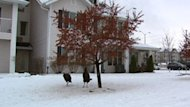 Crab apple trees on a Barrhaven seniors' residence lawn are a popular destination for hungry turkeys.