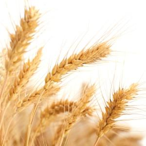 New Slice of Wheat Genome Could Help Feed Growing Global Population