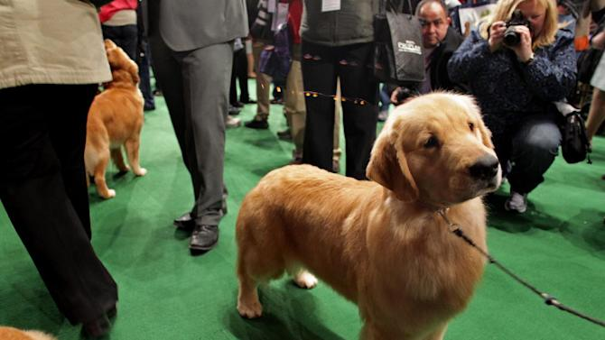 A golden retriever named Chloe, from Green Bay, Wis., awaits her breed competition at the 136th annual Westminster Kennel Club dog show, Tuesday, Feb. 14, 2012, in New York. (AP Photo/Craig Ruttle)