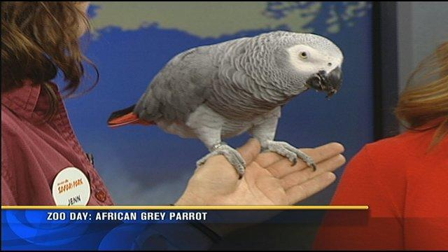Zoo Day: African grey parrot