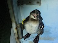 Humboldt penguin No. 337 is seen at Tokyo Sea Life Park after it was rescued. The penguin escaped from the park on March 4 in Tokyo and spent 82 days at large in and around Tokyo Bay before being rescued