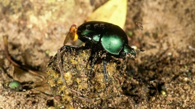 They may have bad taste in chow, but dung beetles sure are resourceful at night.