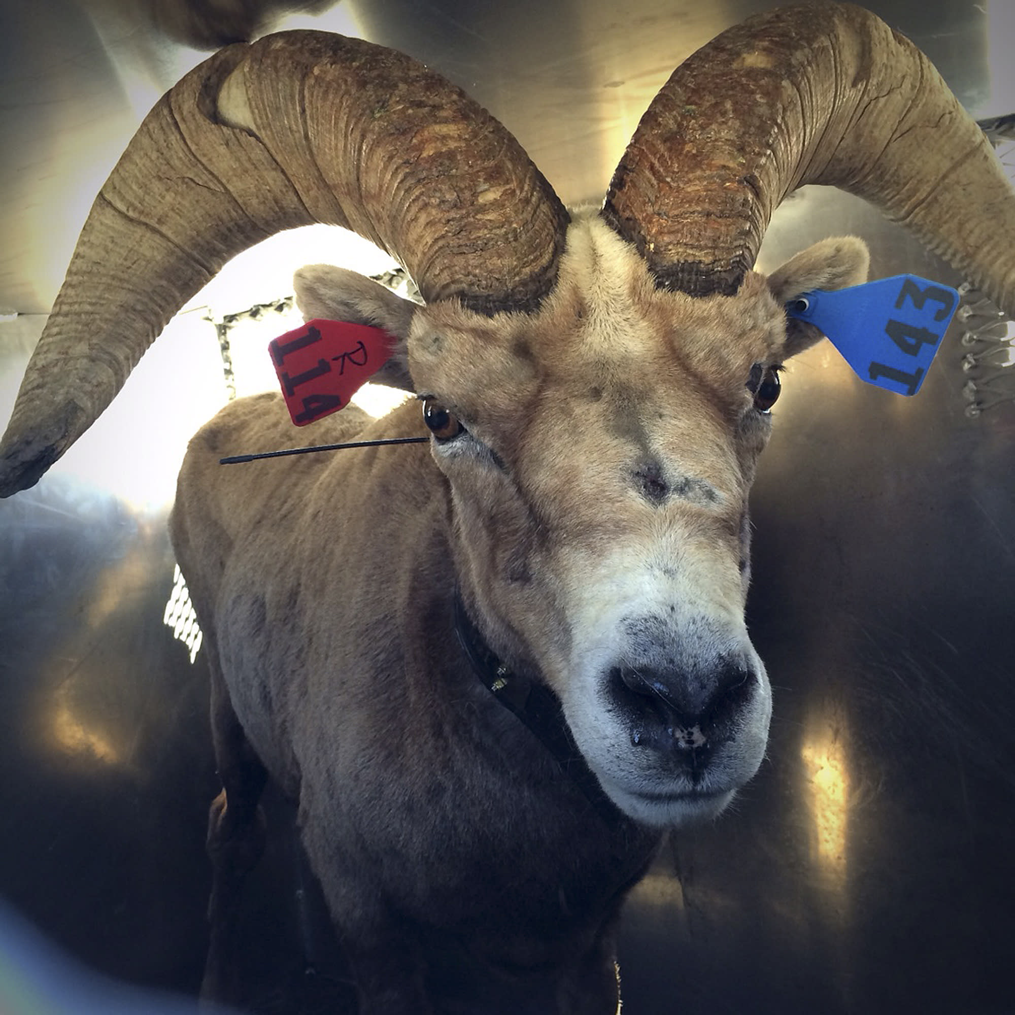 Endangered bighorn sheep moved to Yosemite, Sequoia parks
