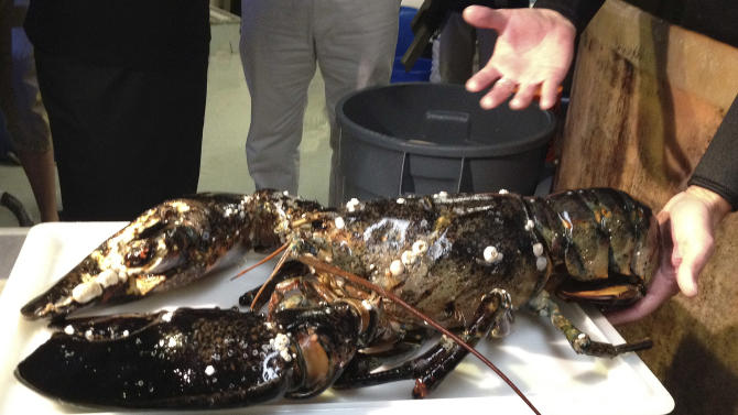 This photo released by the New England Aquarium, in Boston Tuesday, July 24, 2012, shows a 21-pound lobster caught July 14 off Cape Cod, and donated to the aquarium where it will be displayed after a 30-day quarantine period. (AP Photo/New England Aquarium, Emily Bauernfeind)