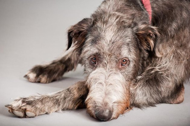 "In this undated image released by Boneau/Bryan-Brown, Taran the Irish wolfhound is shown. Plans are under way to create a musical based on ""Because of Winn-Dixie"" with songs by Duncan Sheik and Taran on stage. (AP Photo/Boneau/Bryan-Brown, Kim Tyler)"