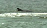Wild Dolphin Attacks Swimmers In US Town