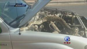 VIDEO: Woman finds snake coiled on truck engine