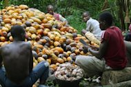 Ivorian farmers break cocoa nuts in Agboville, about 80 km (50 miles) from Abidjan the capital of I vory Coast, December 17, 2005. Reuters/Luc Gnago