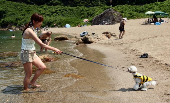 TOYOOKA, JAPAN - JULY 28: Japanese woman pull her pet dog in the water for bath at Takeno Beach on July 28, 2012 in Toyooka, Japan. This beach is especially open for dogs and their owners each summer