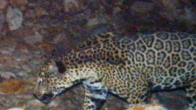 This photo released by the U.S. Fish and Wildlife Service shows a remote camera that photographed a rare male jaguar west of the proposed Rosemont Mine site in the mountains southeast of Tucson. The photographs come as federal wildlife officials consider designating more than 1,300 square miles in New Mexico and Arizona as critical habitat for the jaguar. (AP Photo/U.S. Fish and Wildlife Service )